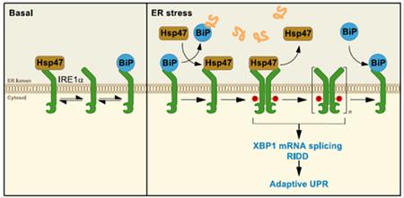 タンパク質動態研究所の永田 和宏 所長らは、IRE1αの新規調節因子として小胞体分子シャペロンHsp47を同定
