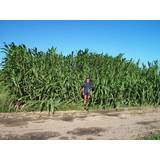 Super Sorghum pilot farm