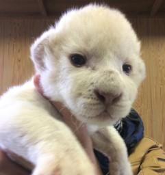 緊急告知!ホワイトライオン赤ちゃん公開!