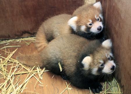 壁際で兄弟と寄り添うレッサーパンダの赤ちゃん