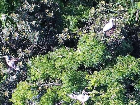 写真3 営巣中のアカアシカツオドリ: 川上和人(森林研究・整備機構森林総合研究所)提供